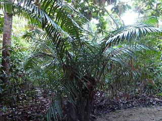 Mengenal Kehidupan Rotan Calamus Inops Di Hutan Pendidikan Tatangge Tnraw Provinsi Sultra Dari Rawa Aopa Ke Taman Nasional Komodo
