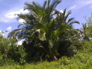 Sagu di daerah penyangga TNRAW