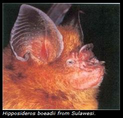 Rawa Aopa NP Bat : Spesies baru dunia (Bates et al, 2007)