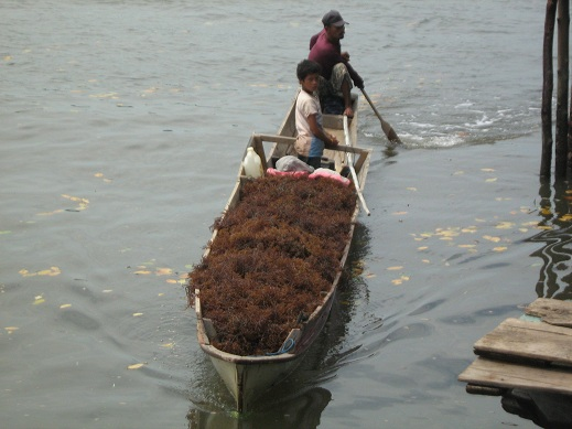 Budidaya rumput laut nelayan Muara Lanowulu