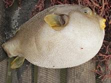 Tidak semua disambar ikan kerapu atau ikan putih, ikan buntal pun tak mau ketinggalan, hehehe.
