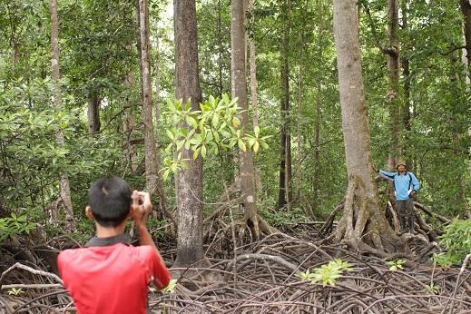 Bakau bakau besar memperkaya ekosistem Mangrove di TNRAW