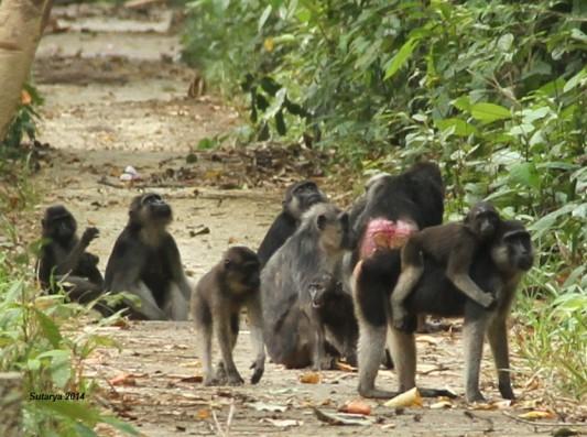 Koloni monyet hitam di TN Rawa Aopa Watumohai (Sutarya 2014)