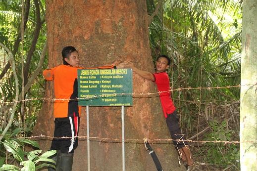 Pohon Unggulan Kalapi di TN Rawa Aopa Watumohai (Machmud, 2014)