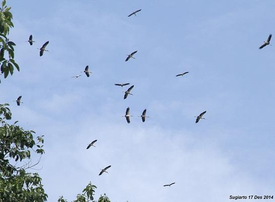 Sekelompok Aroweli atau Bluwok (Mycteria cinerea) berjumlah 101 ekor terbang memutar di TN Rawa Aopa Watumohai (Sugiarto 2014)