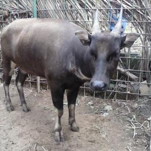 Foto anoa dataran rendah di kandang breeding anoa BPK Manado (Sugiarto, 2015)